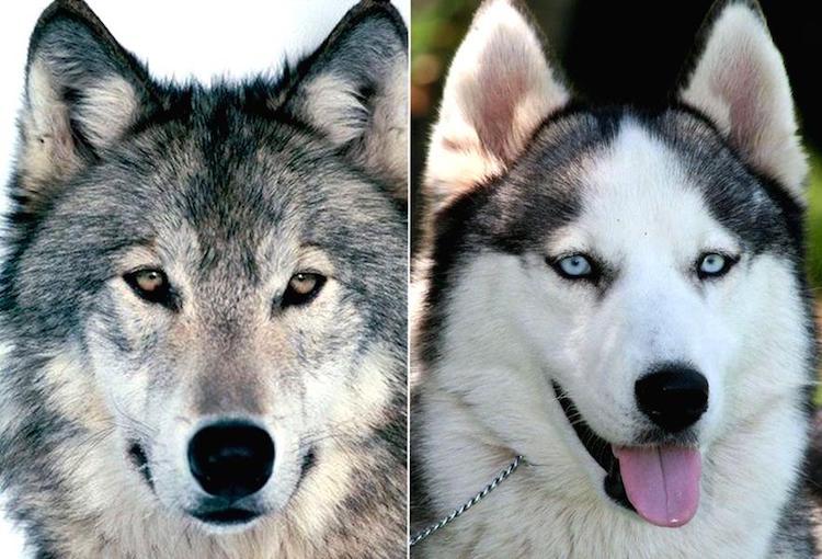 Köpekler İlk Tarımcı İnsanlarla Birlikte Nişasta Sindirebilmeye Başladı
