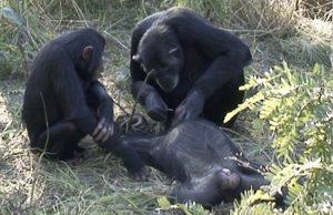 Şempanzeler Ölülerinin Dişlerini Temizlerken Görüntülendi