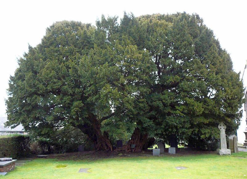 Llangernyw porsuk ağacı - Britanya