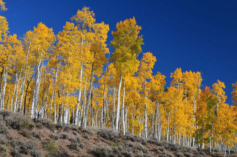 Pando - Utah, ABD