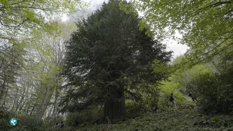 Porsuk ağacı - Zonguldak, Türkiye